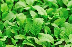 Choysum verde Fotos de Stock Royalty Free