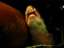 chrapanie rekina obraz royalty free