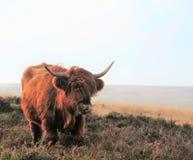 Chrapy oblizania Górska krowa na moorland zdjęcia stock