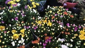 Chrisantemum florece el ramo almacen de metraje de vídeo