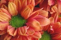 Chrisanthemium du feu de contraste Photo libre de droits