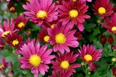 Chrisanthemum blossoming Stock Image