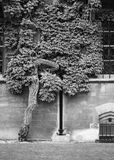 Christ Church College, Oxford - twisted tree Royalty Free Stock Image