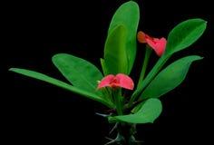 Christ thorn (Euphorbia milii) flower Royalty Free Stock Photos