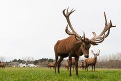 CHRISTCHURCH, NIEUW ZEELAND - MEI 26, 2012: De rode kudde van hertenmannetjes  Royalty-vrije Stock Afbeelding