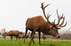CHRISTCHURCH, NIEUW ZEELAND - MEI 26, 2012: De rode kudde van hertenmannetjes  Stock Fotografie
