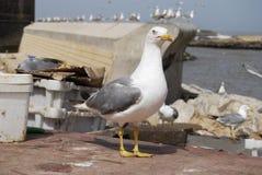 christi特写镜头语科库拍摄了海鸥南得克萨斯美国 免版税库存图片
