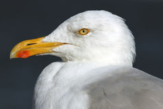 christi特写镜头语科库拍摄了海鸥南得克萨斯美国 库存图片