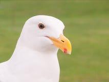 christi zbliżenia korpus językowy fotografował seagull południowy Texas usa Zdjęcie Royalty Free