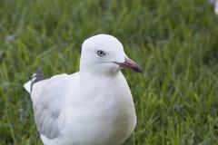 christicloseupcorpuset fotograferade seagullen sydliga texas USA Fotografering för Bildbyråer