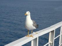 christicloseupcorpuset fotograferade seagullen sydliga texas USA Royaltyfri Fotografi