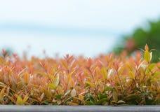 Christina leaves on nature background Stock Photo