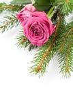 Christlmas roses Stock Photo