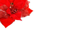 Christmas. Red Christmas rose on white background Stock Photos