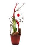 Christmas amaryllis Stock Image
