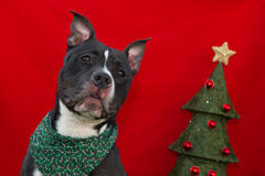 Christmas American Staffordshire Terrier Stock Photo