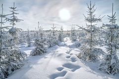 Christmas And New Year Trees Covered With Snow In Winter Forest. Royalty Free Stock Photos