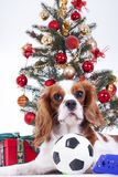 Christmas animal christmas dog pet. Beautiful friendly cavalier king charles spaniel dog. Purebred canine trained dog Stock Image