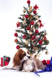 Christmas animal christmas dog pet. Beautiful friendly cavalier king charles spaniel dog. Purebred canine trained dog Royalty Free Stock Images
