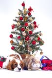 Christmas animal christmas dog pet. Beautiful friendly cavalier king charles spaniel dog. Purebred canine trained dog Royalty Free Stock Image
