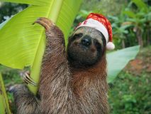 Christmas animal sloth wearing a santa hat. Christmas animal, portrait of a sloth wearing a santa hat, Costa Rica Stock Images
