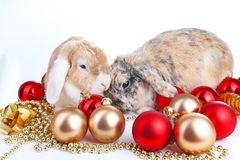 Christmas animals. Cut lop eared rabbit pet friends on isolated white studio background. Rabbits with red and gold. Christmas ornaments. Christmas mini french Stock Photos