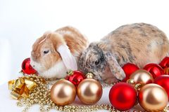 Christmas animals. Cut lop eared rabbit pet friends on  white studio background. Rabbits with red and gold. Christmas ornaments. Christmas pets celebrate Royalty Free Stock Photography