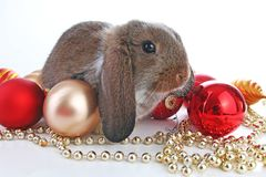 Christmas animals. Cute christmas rabbit. Rabbit bunny lop celebrate christmas with xmas bauble ornaments on isolated white studio. Background. Christmas pet Stock Images