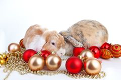Christmas animals. Rabbit pet lop dwarf dutch wo colored orange bunny rabbits celebrate christmas with red gold. Christmas bauble ornaments on isolated white Royalty Free Stock Photos