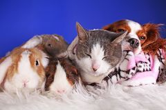 Christmas animals winter pets animal friends cat pet cute blue background royalty free stock photos