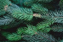 Christmas Background with beautiful green pine tree brunch clos. E up. Copy space stock photos