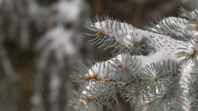 Christmas background. beautiful snow-covered fir branches. soft snows. Close Up stock video
