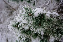 Spruce twig in the snow. Christmas background. blue spruce in snow. raindrops on spruce. beautiful Christmas background.The freshness of winter Royalty Free Stock Photos