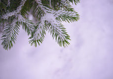 Christmas Background with Fir-tree and Real Snow Stock Photography