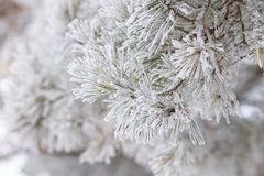 Christmas background. Frosted branch of pine Stock Image