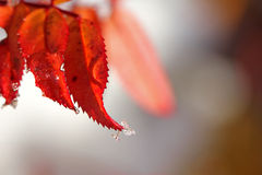 Christmas Background of Red Leaves and Ice Drops Royalty Free Stock Photography