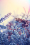 Christmas background with snow covered frozen fir tree with cones in blue tint colors and copy space. Winter background with snow covered frozen fir tree with Royalty Free Stock Photos
