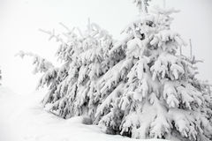 Christmas background with snowy fir trees Stock Images