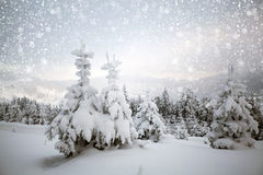 Christmas background with snowy fir trees Royalty Free Stock Images