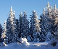 Christmas background with snowy fir trees. Stock Photo