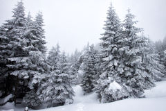 Christmas background with snowy firs Stock Photo
