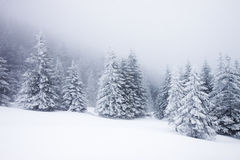 Christmas background with snowy firs Royalty Free Stock Photos