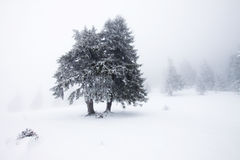 Christmas background with snowy firs Royalty Free Stock Photography