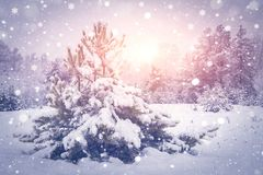 Christmas background. Snowy trees in forest on bright sunrise. Shining snowflakes fall on winter nature. Stock Photography