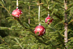 Christmas balls on a fir. In the forest Stock Images
