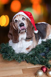 Christmas Basset Hound wears Santa hat with tongue Royalty Free Stock Photography
