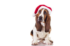 Christmas Basset puppy Royalty Free Stock Images