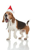Christmas beagle Stock Images