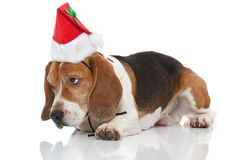 Christmas beagle Royalty Free Stock Image