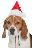 Christmas beagle Royalty Free Stock Images